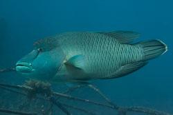 BD-150226-Sharm-7026-Cheilinus-undulatus.-Rüppell.-1835-[Humphead-wrasse.-Napoleonfisk].jpg